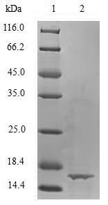 SDS-PAGE- Recombinant protein Bovine TGFB1
