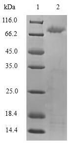 SDS-PAGE- Recombinant protein Human TLR2
