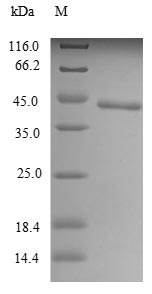 SDS-PAGE- Recombinant protein Mouse Tlr7