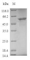 SDS-PAGE- Recombinant protein Human TOMM40