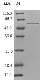 SDS-PAGE- Recombinant protein Human TPM4