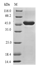 SDS-PAGE- Recombinant protein Human TRIAP1
