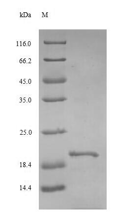 SDS-PAGE- Recombinant protein Rat Tshb