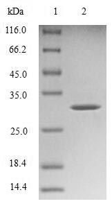 SDS-PAGE- Recombinant protein Mouse Ttr