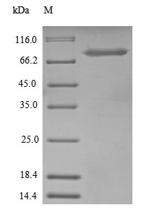 SDS-PAGE- Recombinant protein Human UBTF