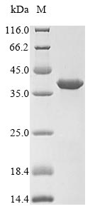 SDS-PAGE- Recombinant protein Mouse Upk2