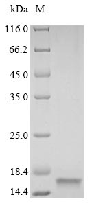 SDS-PAGE- Recombinant protein Rat Vamp2
