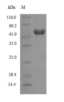 SDS-PAGE- Recombinant protein Human Wnt7b