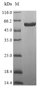 SDS-PAGE- Recombinant protein Mouse Wnt7b