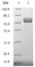 SDS-PAGE- Recombinant protein Human XRCC3