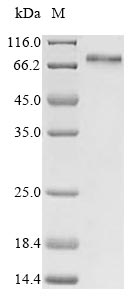 SDS-PAGE- Recombinant protein Human YAP1