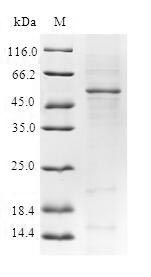 SDS-PAGE- Recombinant protein Human YEATS4