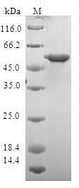 SDS-PAGE- Recombinant protein Human YWHAQ