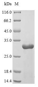 SDS-PAGE- Recombinant?Danio?rerio?Interleukin?1,beta protein  il1b