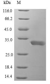 SDS-PAGE- Recombinant protein Danio il1b
