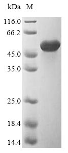 SDS-PAGE - Recombinant uncultured bacterium Flagellin