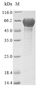 SDS-PAGE- Recombinant protein Escherichia fliC