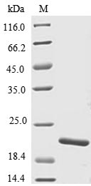 SDS-PAGE- Recombinant protein Danio TNF superfamily, member 2