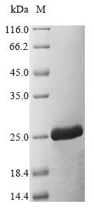 SDS-PAGE- Recombinant protein Danio tnfa
