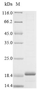 SDS-PAGE- Recombinant protein Rat Caprin2