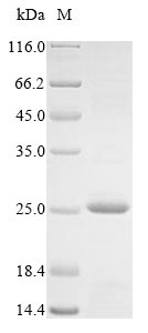 SDS-PAGE - Recombinant Crassostrea gigas A-kinase anchor protein 7 isoform X2