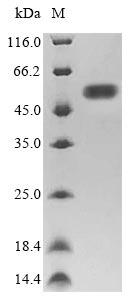 SDS-PAGE- Recombinant protein Escherichia fliC