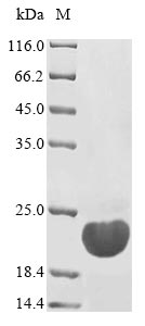 SDS-PAGE- Recombinant protein Yersinia ystB