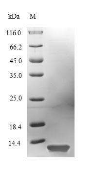SDS-PAGE- Recombinant protein Hypocrea hfb2