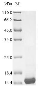 SDS-PAGE - Recombinant Nostoc ellipsosporum Cyanovirin-N
