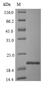 SDS-PAGE - Recombinant Acinetobacter calcoaceticus Catechol 1,2-dioxygenase