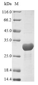 SDS-PAGE- Recombinant protein Yersinia yscM