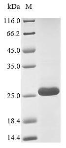 SDS-PAGE - Recombinant Conus vexillum Alpha-conotoxin VxXXC