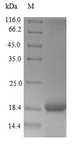 SDS-PAGE - Recombinant Dahlia merckii Defensin-like protein 1