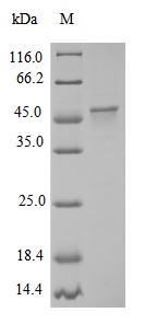 SDS-PAGE- Recombinant protein Chicken Mylk