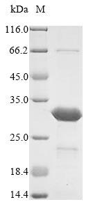 SDS-PAGE- Recombinant protein Vaccinia E3L