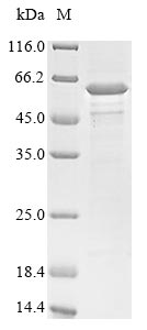 SDS-PAGE- Recombinant protein Clostridium botD