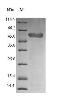 SDS-PAGE- Recombinant protein Staphylococcus lytA