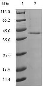SDS-PAGE- Recombinant protein Aequorea GFP