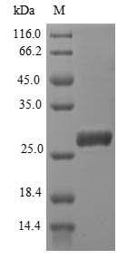 SDS-PAGE- Recombinant protein Plasmodium AMA-1