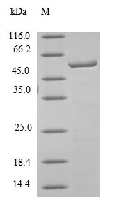 SDS-PAGE- Recombinant protein Mouse Ces1c