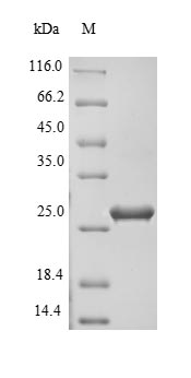 SDS-PAGE- Recombinant protein Staphylococcus entC2