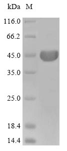 SDS-PAGE- Recombinant protein Cricetulus ACTB
