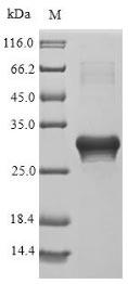 SDS-PAGE- Recombinant protein Parietaria LTP2