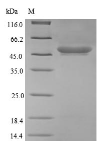 SDS-PAGE- Recombinant protein Escherichia ompT