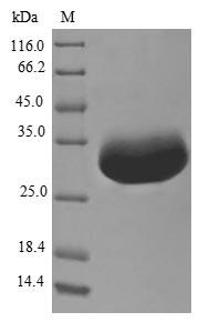 SDS-PAGE- Recombinant protein Escherichia ispU