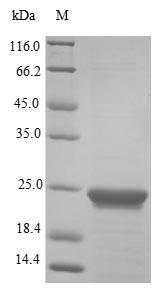 SDS-PAGE- Recombinant protein Human PPIA