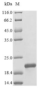 SDS-PAGE- Recombinant protein Rat Ins1