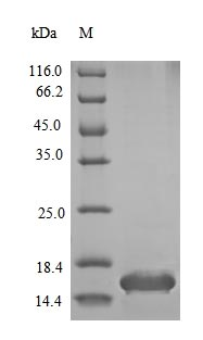 SDS-PAGE- Recombinant protein Mouse Ins1