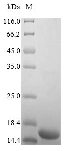SDS-PAGE- Recombinant protein Human IGF1