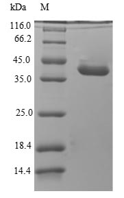 SDS-PAGE - Recombinant Dog Anionic trypsin
